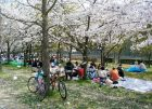 hanami picnic under the cherry blossom in Japan